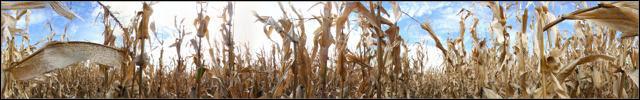 WaihauBay corn field